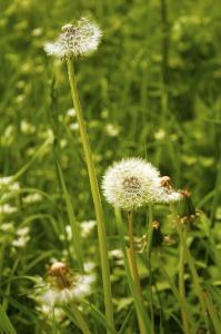 dandelion-172618_1280