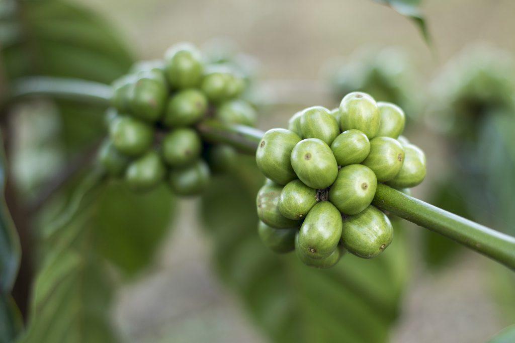 zielona kawa w ciąży