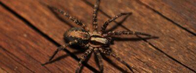Ukąszenie pająka – z czym może się wiązać? Jak sobie radzić?